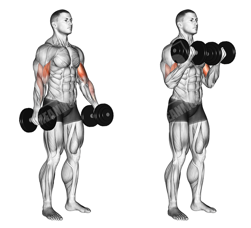 dumbbell standing bicep curls